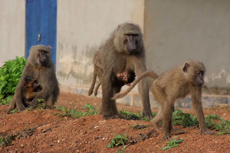 opice nese mládě na břiše