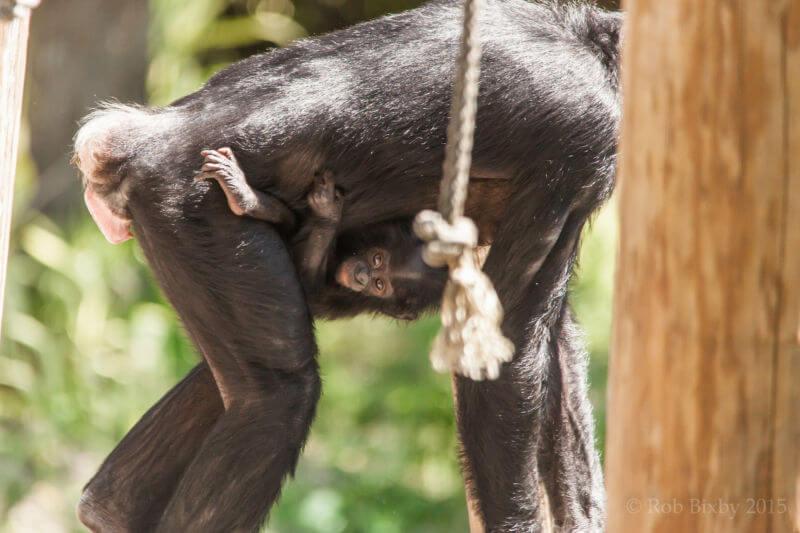 šimpanzí mládě se drží matky
